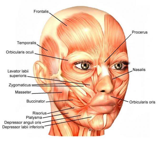 мимические мышцы